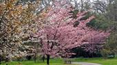 Japanese Cherry Blossom at Batsford Arboretum